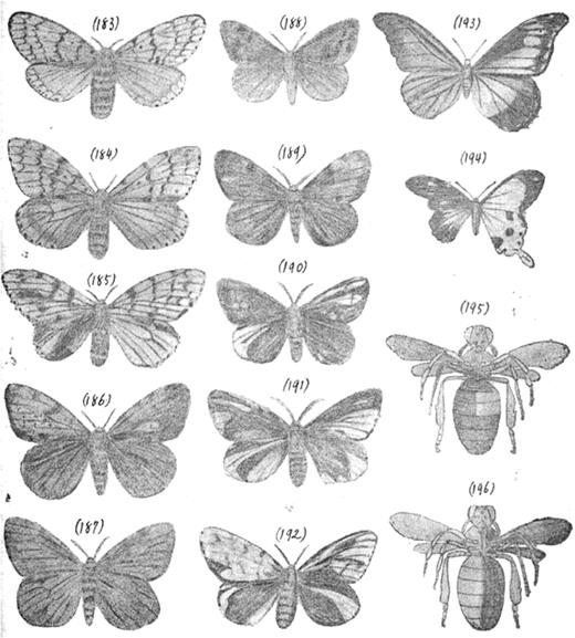 The intersexuality of tussock moths and butterflies and the gynandromorphism of bees