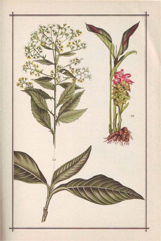 A page from the Atlas of Mrs. Kloppenburg-Versteegh, displaying Sembung (ngai camphor or Blumea camphor; Blumea balsamifera DC) on the left and Temulawak (turmeric; Curcuma xanthorrhiza Roxb) on the right