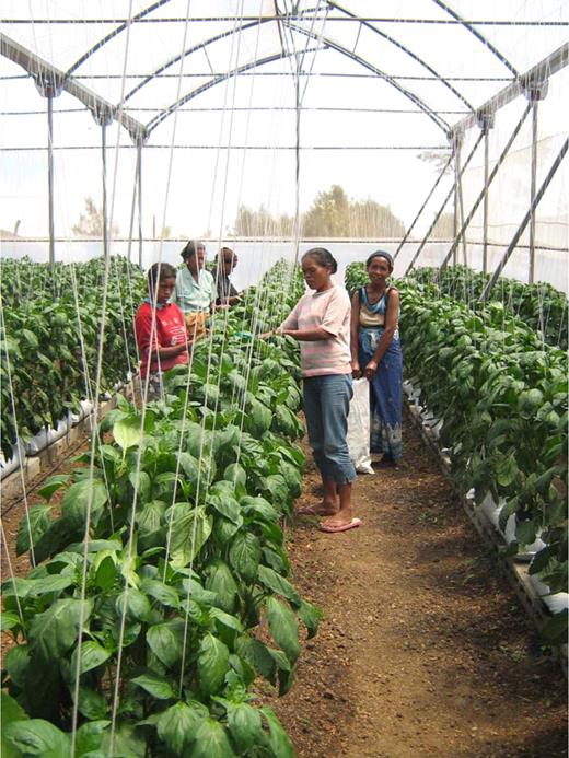 Inside the greenhouse new forms of sociality accompany the cultivation of capsicum.