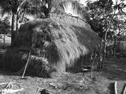 Strawstack in southern Cambodia made primarily of long-stem <b>traditional</b> ric...