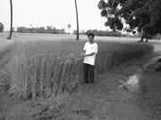Southern Cambodian farmer exhibiting long-stem <b>traditional</b> variety under or...