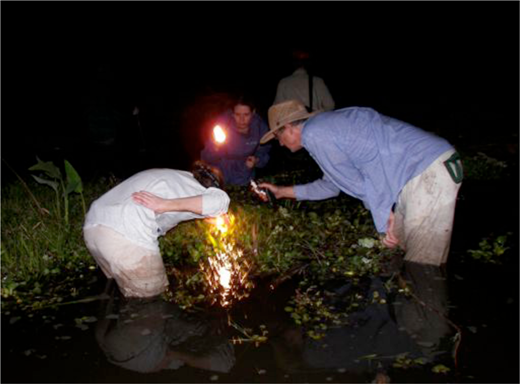 Test trials with foam frogs in the wetlands of Palo Verde National Park (Photograph: Eben Kirksey)