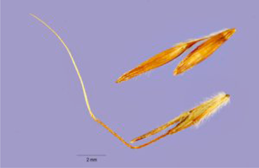 Seeds of Jaragua grass (Photograph: U.S. Department of Agriculture)