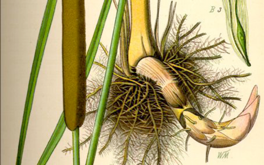 The rhizome of the cattail51