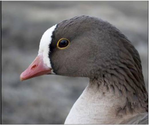 Lesser White-fronted Goose (Imre). Photo © Norwegian Ornithological Society.