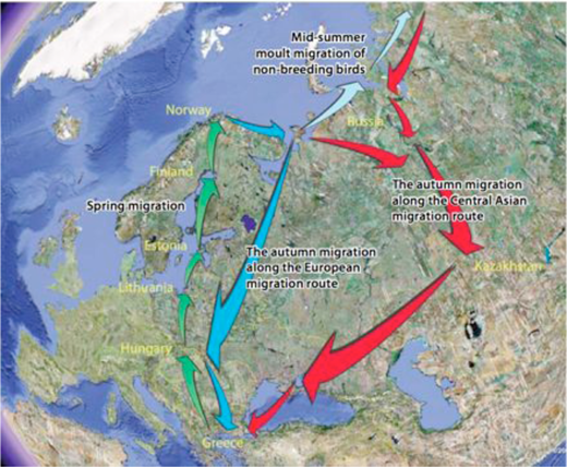 The two autumn migration routes of the Scandinavian LWfG. Image © Norwegian Ornithological Society.