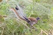 An adult male Superb <b>Lyrebird</b> in the scrub. Photo: Wikimedia Commons, used ...