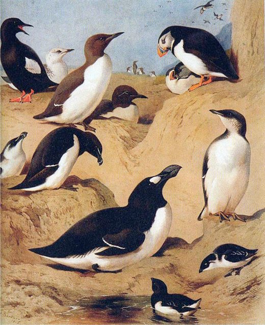 A painting by Archibald Thorburn (1860-1930) entitled The Great Auk surrounded by its true relatives. Courtesy of the Wikimedia Commons http://en.wikipedia.org/wiki/File:Auks.jpg.