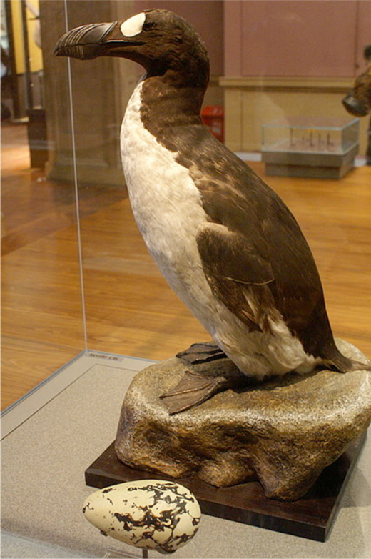 Stuffed great auk at Kelvingrove Museum, Glasgow. Image © Mike Pennington. Used under a CC BY-SA 2.0 license.