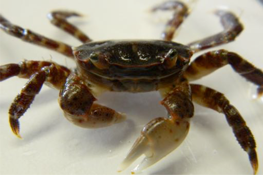 A Japanese shore crab removed from the dock. Photo: Hatfield Marine Science Center, Oregon State University.