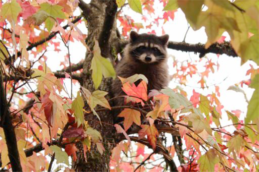 Raccoon in playground tree. Author's photograph.