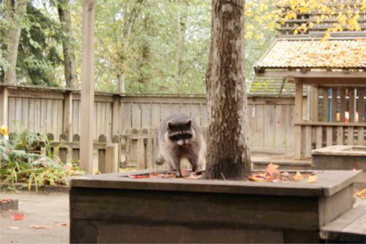 Raccoon in the playground. Author's photograph.
