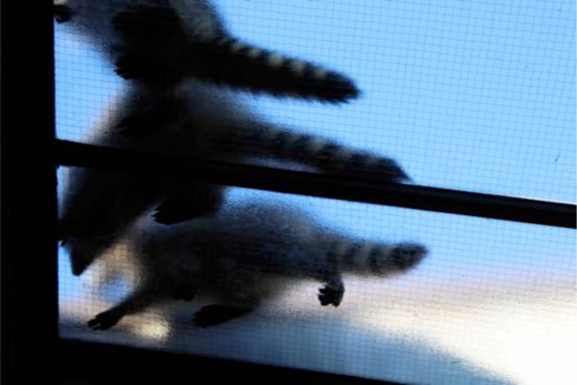 Raccoons in skylight. Author's photograph.
