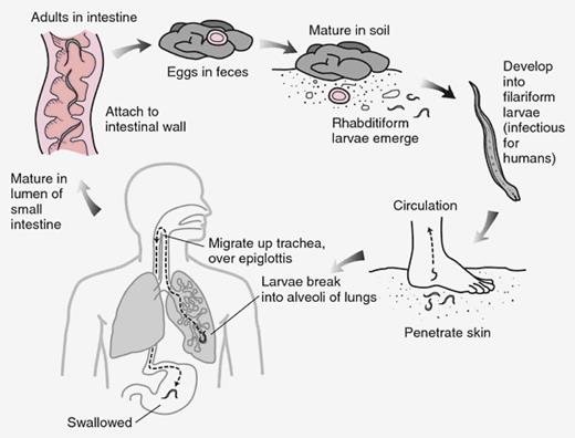 Life cycle of Necator americanus. Image from Public Health Image Library, Centers for Disease Control and Prevention (phil.cdc.gov/)