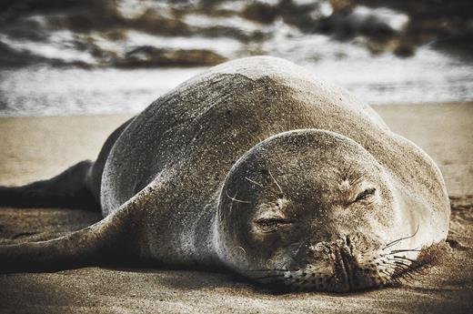 A monk seal resting on a beach in Kauai. Photograph by Jared Wong