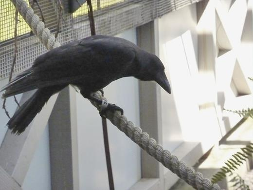 A Hawaiian crow in captivity at the Keauhou Bird Conservation Center. Photograph by Thom van Dooren.