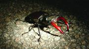 <b>Stag</b> beetle ( Lucanus cervus ). Image courtesy of Maria Fremlin   Figure 1....