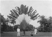 """""""March 19&#x2F;31 Port of Spain, Trinidad. Traveller&#x27;s Palm."""" <b>Courtesy</b> of Univer..."""