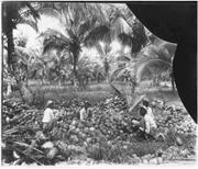 """Washing Coconuts"" (Trinidad, 1931). <b>Courtesy</b> of University of Toronto Arch..."