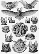 "Ernst Haeckel, ""Chiroptera."" Lithograph from  Kunstformen der <b>Natur</b>  ( Art ..."