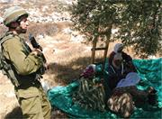 The 9 million olive trees in the West Bank are a mainstay of the Palestinia...