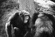 Joel Orduna Rivera  Our nearest primate relatives, the chimpanzees, live in...