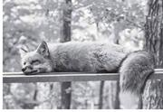 """""""The <b>red</b> fox, the vixen &#x2F; dancing in the half-light among the junipers"""" An ..."""