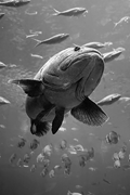 Their mouths and gills <b>form</b> a strong sucking system which can suck their pr...